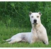 Bully Kutta Dog Lying Grass Photo 1328&2151200 189481 HD