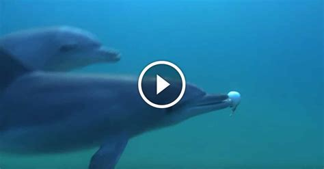 Dolphin Blowfish Detox Vidio by Dolphins Catch Puffer Fish And Use Their Poison For This