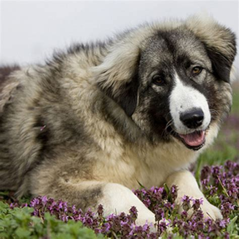 carpathian shepherd carpathian shepherd breed guide learn about the carpathian shepherd