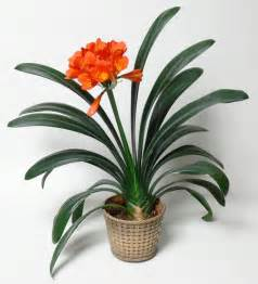 Winter Indoor Herb Garden - plants amp flowers 187 clivia miniata