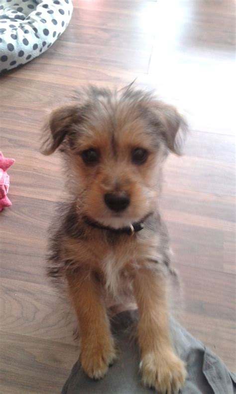 12 week yorkie puppy gorgeous yorkie x pom x 12 week puppy rushden northtonshire pets4homes