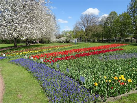 Britzer Garten Tulpen 2018 by Bild 1 Aus Beitrag Tulpen Unter Kirschbl 252 Ten Auf