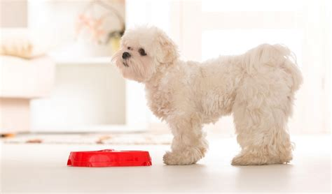 best food for puppies best food for maltese 10 vet recommended brands