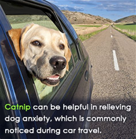 can dogs catnip is catnip safe for dogs and what are its effects