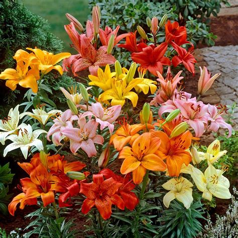 bloomsz asiatic lily bulbs mixture 6 pack 06049 the home depot