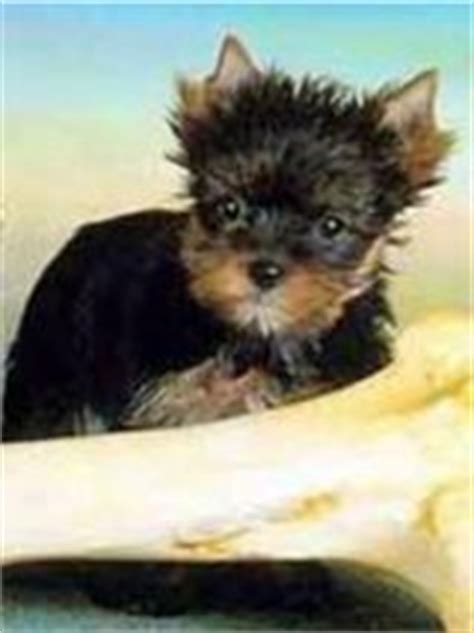 all about yorkie dogs terriers terrier yorkie puppies dogs puppies puppy