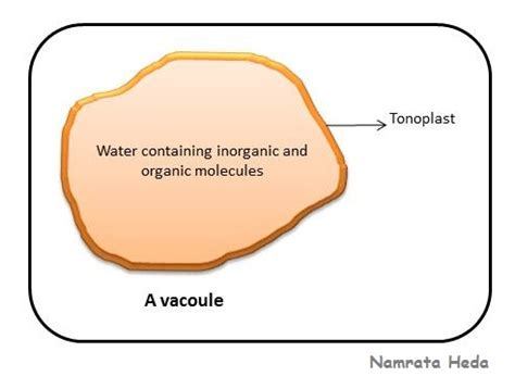 diagram of vacuole b for biology vacuole