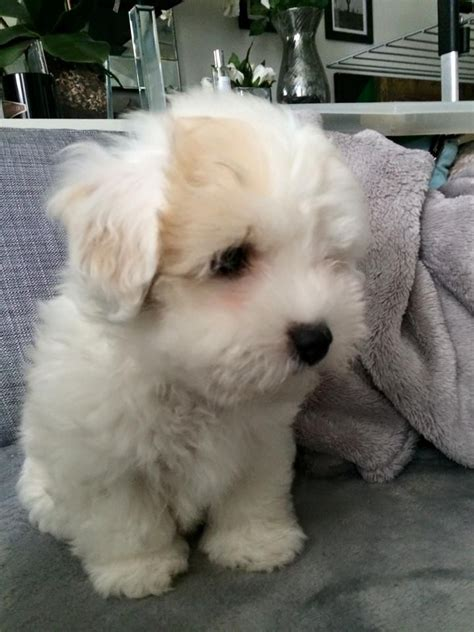 coton puppies available pedigree coton de tulear puppies west pets4homes