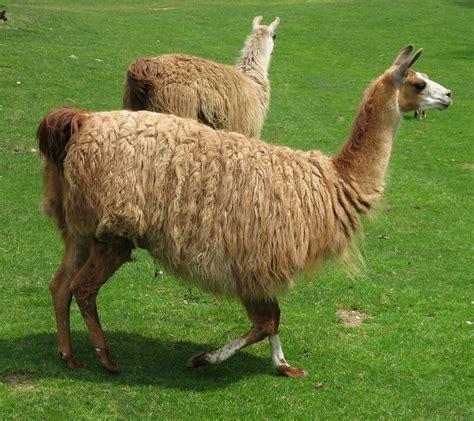 imagenes animal llama lhama wikip 233 dia a enciclop 233 dia livre