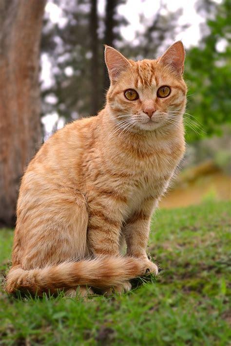 Cat Ct010 Brown Yellow free photo cat feline animal yellow orange free image on pixabay 1066157
