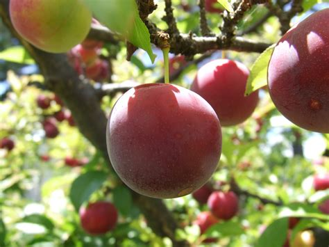images of trees with fruits fruit tree wallpaper