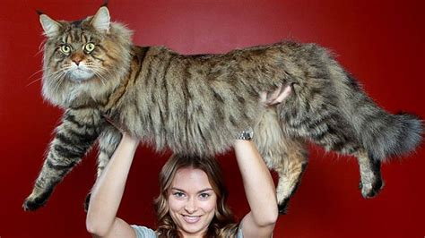 biggest house cat in the world biggest domestic cat breed memes