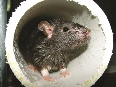 Orkin Bed Bugs Rat Hole Identify Rat Burrows Nests Habitats