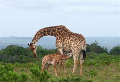 imagenes con jirafas 191 cu 225 ntas cr 237 as tienen las jirafas