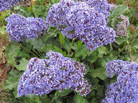 perez s sea lavender not native san elijo lagoon