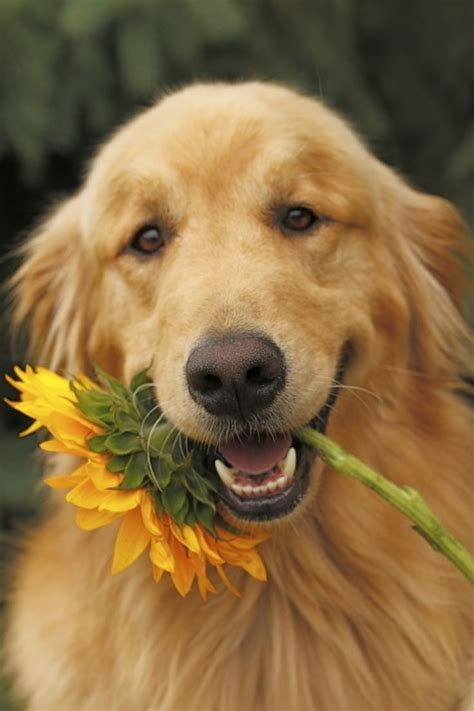 golden retriever names 2017 interesting golden retriever names to adopt pictures images wallpapers