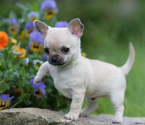 chi puppy gorgeous faun chihuahua puppies stroud gloucestershire pets4homes