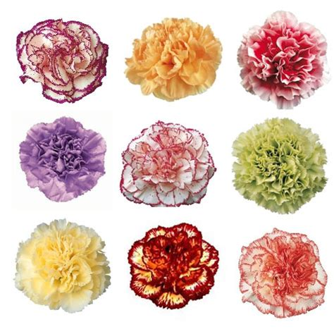 carnation color mixed color carnation plants
