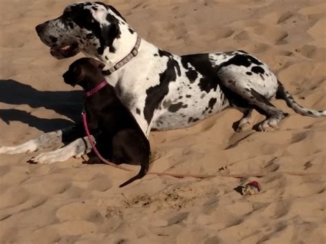 great dane puppies for sale in wisconsin great dane puppies for sale near franklinville new jersey akc marketplace