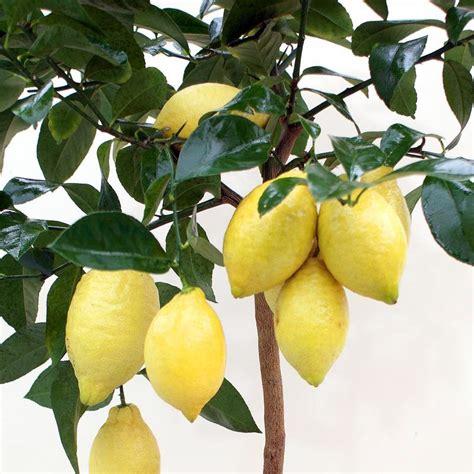 pianta di limoni in vaso cura cura limone in vaso trendy quadro su tela albero di