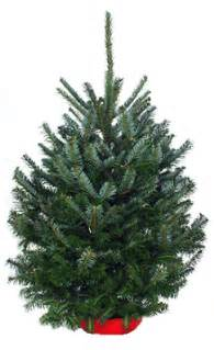 Tabletop fraser fir christmas tree hilltop christmas tree delivery
