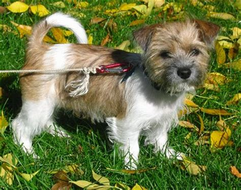 fox terrier and shih tzu mix fo tzu breed information and pictures