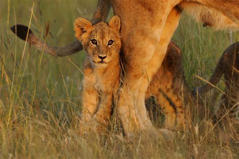 safari animals facts about africa s baby safari animals