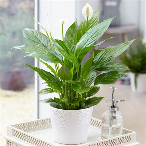 spathiphyllum peace lily indoor plants   potted lily