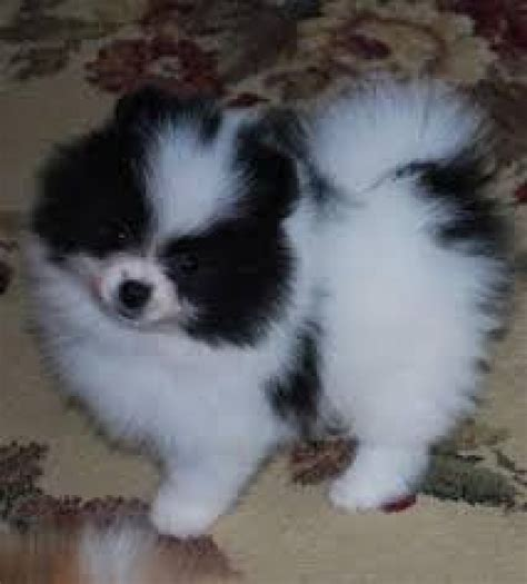 pomeranian breeders in michigan 4 pomeranian puppies for sale adoption text 6122311213 dogs