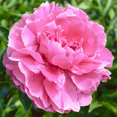 pink peonies and other flowers from long ago new england paeonia lactiflora dr alexander fleming peony