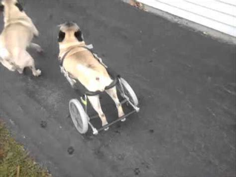 pug in a wheelchair puggy gets his wheels pug rescue of new s new wheelchair for foster roll on