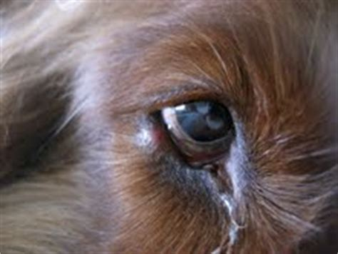 how many eyelids do dogs meibomian gland www pixshark images galleries with a bite