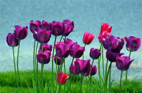Mukena Bali Tulip Dewasa Fit L free purple tulips stock photo freeimages