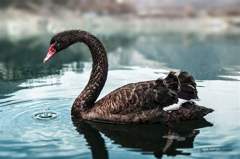 Sources And Methods How To Analyze Black Swans Black Swan Meaning