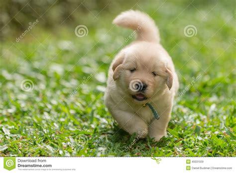 walking golden retriever puppy 50 most lovely golden retriever puppy pictures and images