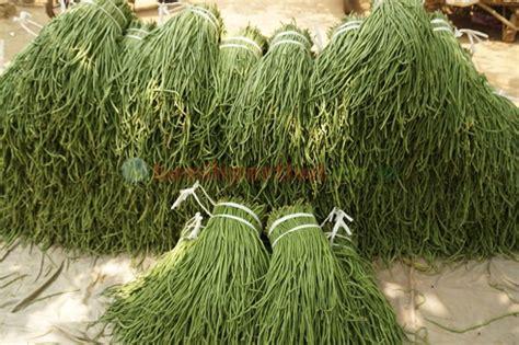 Benih Kacang Panjang Pangeran Anvi budidaya kacang panjang benih pertiwi