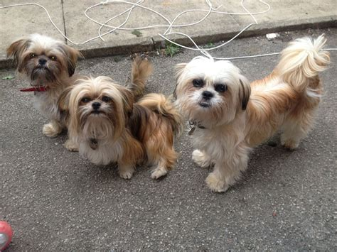 chihuahua and shih tzu shih tzu chihuahua shichi black hairstyle and haircuts