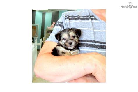 yorkie poo for sale san diego yorkiepoo yorkie poo puppy for sale near san diego california 17d951d2 44b1