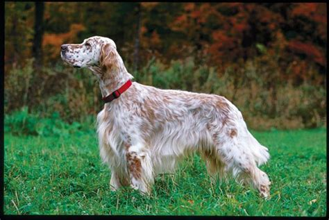 english setter pointer dog breeds pin by kerry ailie on big dogs pinterest