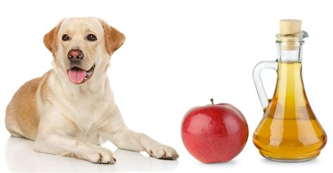 apple cider vinegar for fleas on dogs apple cider vinegar for dogs does it really work
