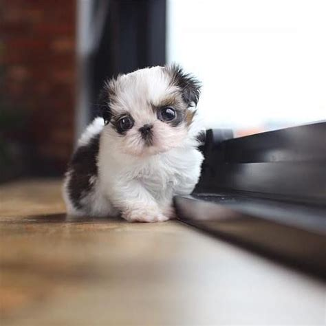 imperial shih tzu puppies for sale in nc teacup shih tzu puppies for sale in nc shih tzu puppy for sale shih
