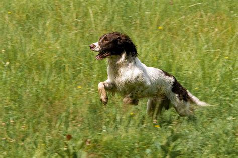 english setter dog training free images animal training movement hunting dog