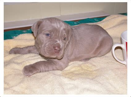 bullmastiff puppies michigan neopolitan mastiff puppies benton harbor michigan 49022