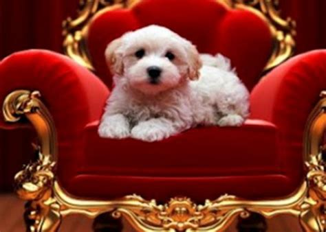 royal puppy we live in royalty rp members