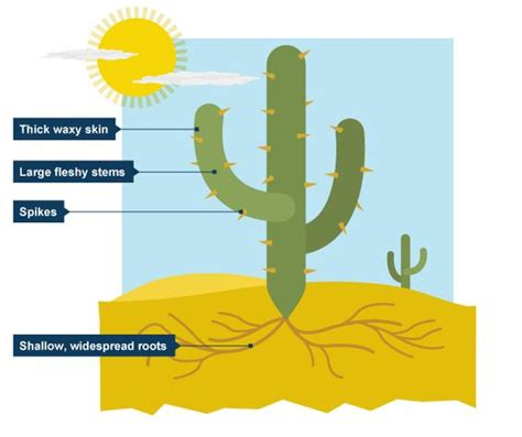 saguaro cactus diagram desert biome cactus and biomes on