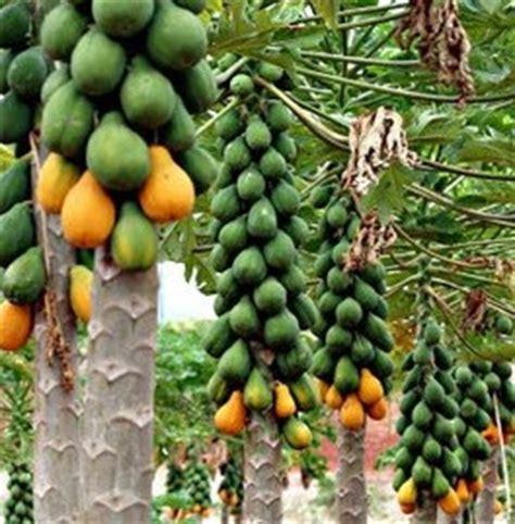 Bibit Buah Pepaya California benih pepaya hawai