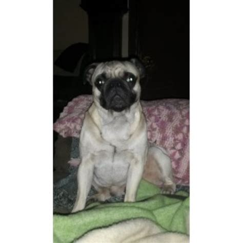 free puppies in mobile al finklea pug stud in mobile alabama