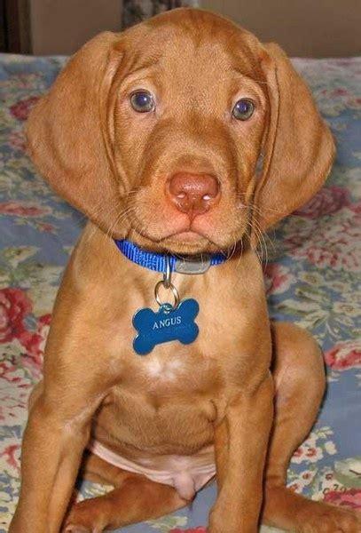 dogs 101 vizsla 25 best ideas about hungarian vizsla on vizsla puppies vizsla and vizsla