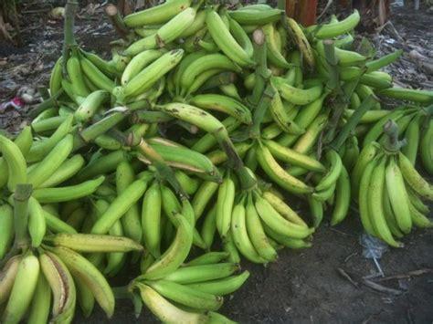 teknik jitu budidaya pisang  praktis  menghasilkan