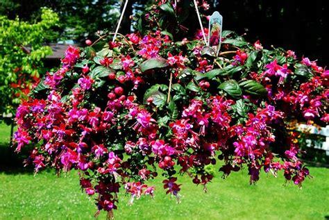 piante con fiori fucsia fucsia pianta piante da giardino fucsia pianta
